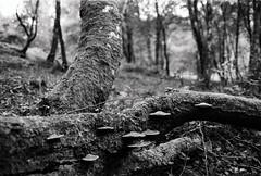 866 (a.pierre4840) Tags: olympus om2n zuiko 55mm f12 trees tree fungi fungus dof depthoffield bokeh ilford ilfordhp5 hp5 hp5plus 35mmfilm bw blackandwhite monochrome noiretblanc forest dorset england nature mushroom toadstool