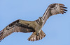Air Show... (ragtops2000) Tags: raptor osprey surprise first spring migrating flying detail eyes beautiful markings lake sky blue nature wildlife close exciting