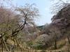 18o8366 (kimagurenote) Tags: 多摩森林科学園 tamaforestsciencegarden 桜 sakura cherry blossom prunus cerasus flower tree 東京都八王子市 hachiojitokyo