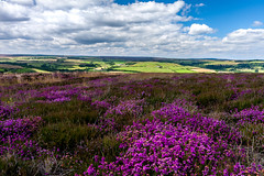Moors (Derwisz) Tags: northyorkshire moors yorkshire heather nationalpark northyorkshiremoorsnationalpark england unitedkingdom landscape plants nature canon canoneos40d purple