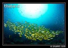 _MG_2100 (Graggs) Tags: blue canon5dmkii diving scuba similanislands thailand uwp underwater underwaterphotography sunburst fishball shoal yellow