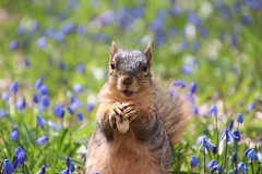 311/365/3598 (April 18, 2018) - Squirrels in Ann Arbor at the University of Michigan (April 18th, 2018) (cseeman) Tags: gobluesquirrels squirrels annarbor michigan animal campus universityofmichigan umsquirrels04182018 spring eating peanut aprilumsquirrel art flowers wildflowers scilla 2018project365coreys yeartenproject365coreys project365 p365cs042018 356project2018