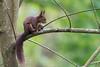 D50_9019.jpg (ManuelSilveira) Tags: mamiferos esquilo fauna