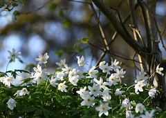 Appreciating the sunshine ... (Gerlinde Hofmann) Tags: germany thuringia village bürden woodanemone buschwindröschen