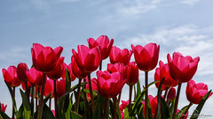 Tulip Marathon Champion (BraCom (Bram)) Tags: 169 blad bracom bramvanbroekhoven goereeoverflakkee holland marathonchampion nederland netherlands ooltgensplaat southholland zuidholland agriculture bloei bloemen bloom cloud flower flowers frühling landbouw leaf lente pink printemps roze sky spring tulip tulips tulp tulpen widescreen wolk nl