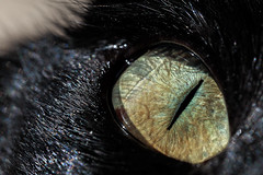 Watching you ! (Jacko 999) Tags: brandon cat black robert eede eye closeup macro detail animal mammal canon eos 5ds r ef100mm f28l is usm iris color colour colors colours