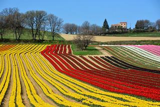 Fields of tulips France_8789