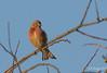 Les premiers coups de soleil ;-) (Régis B 31) Tags: cardueliscannabina commonlinnet fringillidés linottemélodieuse passériformes ariège bird domainedesoiseaux mazères oiseau