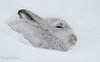 Mountain Hare (oddie25) Tags: canon 600mmf4ii 1dx hare mountainhare scotland scottishhighlands mammal snow wildlife wildlifephotography nature naturephotography scottishwildlife