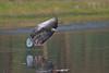 Here comes the Goose.. (Anirban Sinha 80) Tags: nikon d610 fx 500mm f4 ed vrii n g bokeh bird goose landing wings beak tail water wetland nature