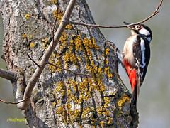 Pico picapinos (Dendrocopos major)  (17) (eb3alfmiguel) Tags: aves pájaros carpintero piciformes picidae pico picapinos dendrocopos major pájaro árbol hierba animal bosque madera