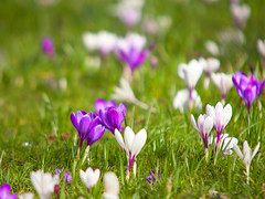 Spring Crocus @ SE15 (Adam Swaine) Tags: peckhamryepark londonparks spring crocus flowers flora england english nature springblossom petals britain canon parks uk naturelovers naturesfinest grass