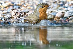 You're aving a bath! (Paul Wrights Reserved) Tags: robin bokeh colour colours colourful reflection reflections water puddle splash splashing splashes lowangle beautiful bird birding birds birdphotography birdwatching birdbath birdbathing robinbathing robins robinredbreast