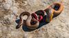Ring-necked Snake [Diadophis punctatus] (kkchome) Tags: herp herping herpetology reptile snake ringnecked diadophispunctatus wildlife fauna nature flipping usa kansas