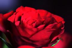 DSC_8985 (PeaTJay) Tags: nikond750 sigma reading lowerearley berkshire macro micro closeups gardens indoors nature flora fauna plants flowers bouquet rose roses rosebuds