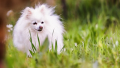 I saw him ... (frederic.gombert) Tags: cat dog pet animal white little tiny cool green park garden look intense pomeranian spitz