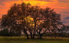 Live Oaks Sunset (TicKavich) Tags: tree sunset florida textures farm sky nature pasture