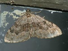 Xanthorhoe quadrifasciata - Large twin-spot carpet - Ларенция четырёхполосая (Cossus) Tags: geometridae larentiinae xanthorhoe пяденица 2009 анциферово