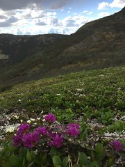 IMG_1340 (AlaskaGeo) Tags: 2017 denali scenery flowers