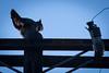 Whoooo-4841 (alankrakauer) Tags: owl urbanwildlife urbanbirds urbannature dusk nocturnal