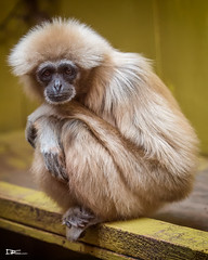 White-handed gibbon (Darren Frodsham) Tags: whitehandedgibbon gibbon monkey ape primate primates southlakessafarizoo south lakes safari zoo darrenfrodsham lakedistrict canon cumbria tamron70200mmf28spdivcusd 5dmarkiii