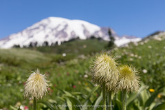 20170730-7O0A2205_export (Tyler Hartje) Tags: mount rainier washington national park western pasqueflower wildflower mountain pacific northwest
