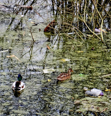- (txmx 2) Tags: hamburg diebsteich water kanal waste debris junk dirt ente duck altona
