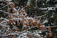 A Little Flurry in Early Spring 5 (LongInt57) Tags: snow snowing weather winter spring maple tree seeds fir nature white brown green kelowna bc canada okanagan