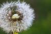 Coeur dépouillé (Nadia (no awards please !)) Tags: pissenlit fleur flower vert green blanc white printemps