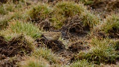 Pipit (_J @BRX) Tags: meadowpipit pipit cupwithreservoir pennines hills moors kirklees yorkshire england uk spring march 2018 nikon d5200 bird