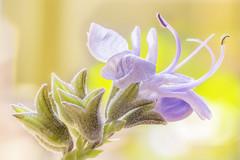 Flor de romero (juapero) Tags: grancanaria canaryisland islascanarias flower flor macro nature colors juapero
