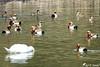 Un intrus chez les Nettes rousses (jean-daniel david) Tags: oiseau oiseaudeau eau lac lacdeneuchâtel réservenaturelle reflet nature volatile cygne netterousse intrus yverdonlesbains couple