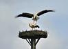 © 152018 (rifi2) Tags: rifi2 störche cigueña aves vögel nikond700 naturaleza nature