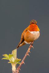 Clarke_180408_4084.jpg (www.raincoastphoto.com) Tags: birds selasphorusrufus hummingbirds birdsofbritishcolumbia birdsofcanada birdsofnorthamerica rufoushummingbird britishcolumbia canada