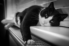 Milo (JB_1984) Tags: milo cat feline pet animal radiator blackandwhite bw mono england uk unitedkingdom nikon d500 nikond500