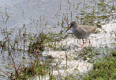 Redshank (robin denton) Tags: northcavewetlands birdreserve birds bird wildlife yorkshirewildlifetrust wildlifetrust narure oiseaux water lake wetland