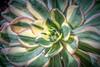 Sunburst (helenehoffman) Tags: succulent aeonium sandiego plants aeoniumsunburst