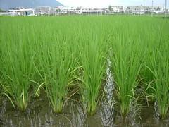 已屆水稻幼穗形成期,穗肥施用適時適量可維產量並減少稻熱病發生