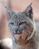bobcat Burgerszoo BB2A9320 (j.a.kok) Tags: animal mammal zoogdier dier predator kat cat burgerszoo bobcat lynx redlynx rodelynx