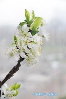 Blossom Prunus domestica Opal (SoS)