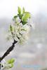 Blossom Prunus domestica Opal (SoS) (myphotomailbox) Tags: flower rotterdam netherlands outdoor strevelsweg springflower20172018 smileonsaturday blossom macro prui pruimenbloesem bloem plum