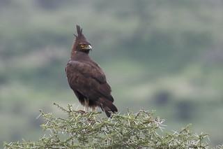 Afrikaanse zwarte kuifarend - Long-crested Eagle - Lophaetus occipitalis