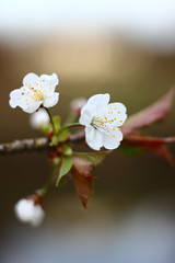 Softly (Nathalie_Désirée) Tags: cherryblossom white soft fragile tender bright flower spring pistil filament macro closeup f18 canoneos600d