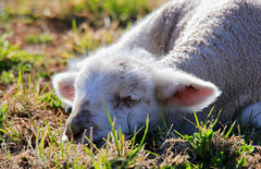 For the young and the old ...... the nap is the most important part of the day. (Parowan496) Tags: lamb sheep nap farm newborn spring