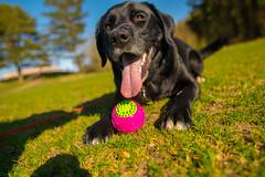 DSC_0137 (Daniel Maclachlan) Tags: labrador crossbreed ball play grass footbal pitch black dog collie