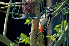 Propped (Deepgreen2009) Tags: greatspottedwoodpecker feeder garden wildlife nuts tail prop
