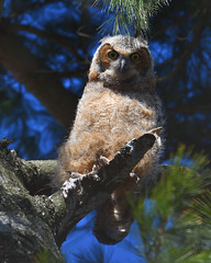 DSC_1446_edit (Hanzy2012) Tags: nikon d500 afsnikkor500mmf4difedii toronto ontario canada wildlife bird teleconverter tc14eii greathornedowl bubovirginianus owl nature wild