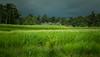 Bali Rainy Weather (Chris M. S) Tags: bali rainy landscape ricefield flower plants canon6d canon canonphoto tamron lens landscapephotography landschaft landschaftsfotografie indonesien indonesia