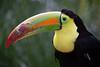 @ Ouwehands Dierenpark 29-04-2017 (Maxime de Boer) Tags: toekan toucan bird vogel ouwehands dierenpark ouwehand zoo rhenen animals dieren dierentuin gods creation schepping creator schepper genesis