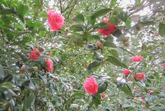 (_mo.foto_) Tags: pink green plant bloom spring nature outside outdoor colorful stpatricksday digital march flickr blossom camellia camelia camélia kamelie kamelia کیمریا камелія ดอกเคมีเลีย kamelya камелија کاملیا kamelija 동백나무 カメリア 茶花 الكاميلية flower